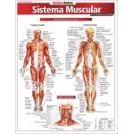 Resumão Sistema Muscular