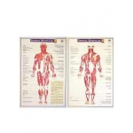 Mapa Sistema Muscular (2 pranchas)