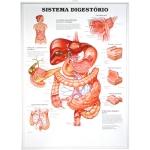 Pôster 3D Sistema Digestório em Alto-Relevo