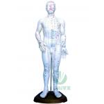 Modelo de corpo humano - Masculino